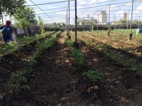 pf - tomato patch