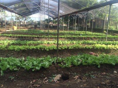 rsz_lettuce